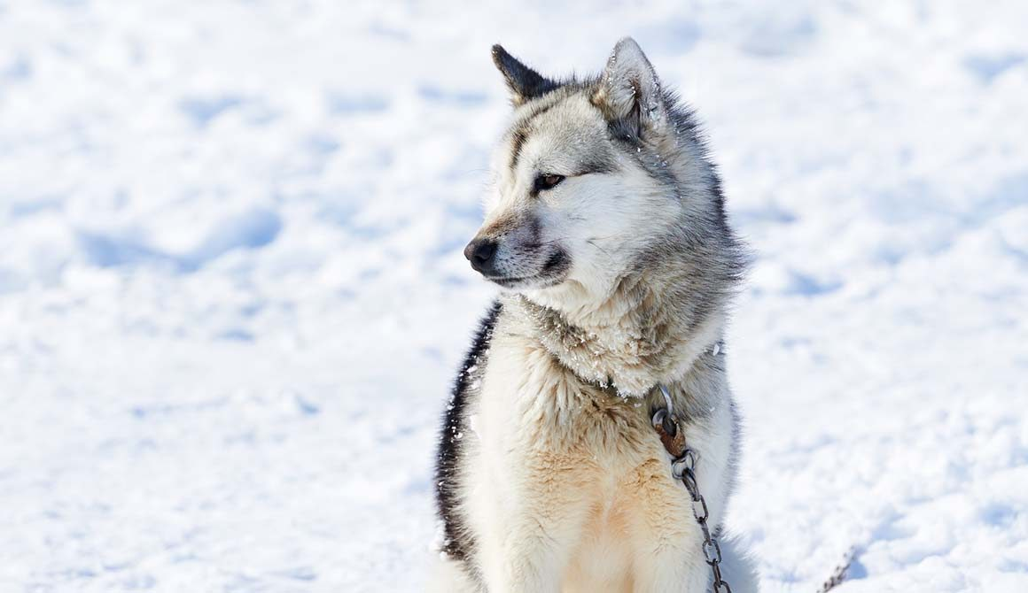 Save Endangered Wolves